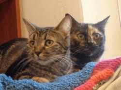 Myrtille, Chat européen à adopter