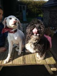 Ovana, Chiot beagle à adopter