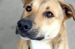 Tiko, tout jeune chien mâle croisé créole, Chiot à adopter
