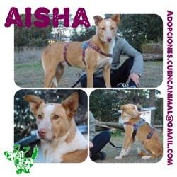 Aisha, Chien à adopter