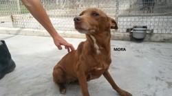 Mora, Chien à adopter