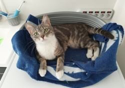 Omaya, Chat à adopter