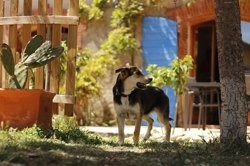 Safy, Chiot berger allemand à adopter