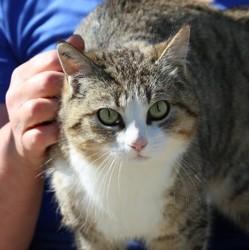 Kallie, Chat gouttière à adopter