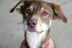 Obi one, tout jeune chien mâle croisé créole, Chien à adopter