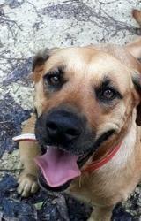 Kuma, jeune chienne croisée créole, Chien à adopter