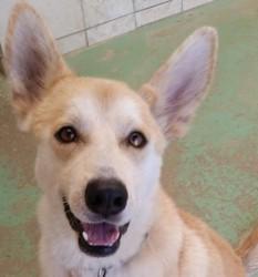 Macaron, Chien husky sibérien à adopter