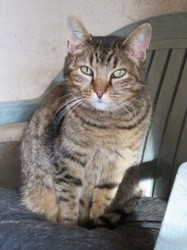 Celeste, Chat européen à adopter