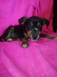 Tess, Chiot à adopter