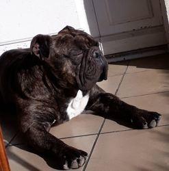 Sky, Chien bulldog à adopter