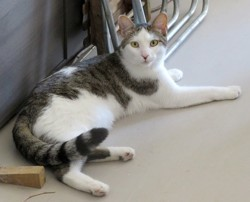 Nestor chat tigré/blanc de 2 ans 1/2, Chat à adopter