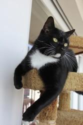 Grosbisosus chat blanc/noir de 2 ans 1/2, Chat à adopter