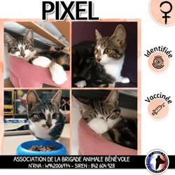 Pixel, Chaton européen à adopter