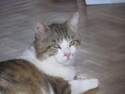 Loomi, Chat européen à adopter