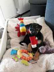 Prunelle, Chiot pinscher à adopter