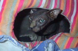 Fanny, Chat sphynx à adopter