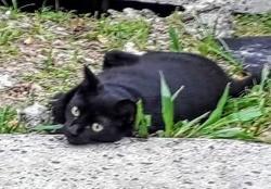 Bagheera, jeune chat femelle croisée créole, Chat à adopter