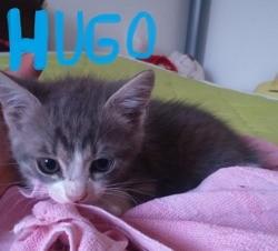 Hugo, Chaton à adopter