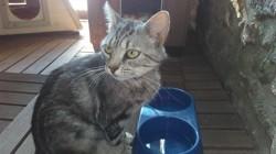 Ono, Chat européen à adopter