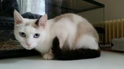 Mounette, Chaton snowshoe à adopter