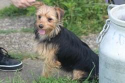 Séti, Chiot pinscher, yorkshire terrier à adopter