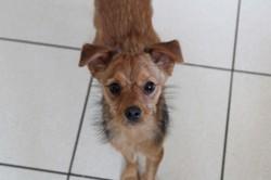 Sam, Chiot pinscher, yorkshire terrier à adopter