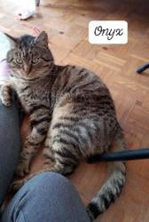 Onyx, Chat européen à adopter