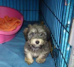 Pilou, Chiot à adopter