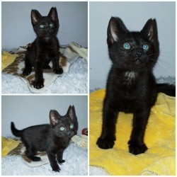 Panthere, Chaton gouttière à adopter
