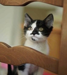 Pacome, Chaton à adopter