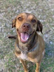 Joya, jolie chienne croisée créole, Chien à adopter