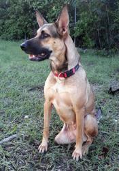 Baya, femelle croisée créole tripatte, Chien à adopter