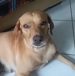 Zaora, jeune femelle croisée non lof, Chien à adopter