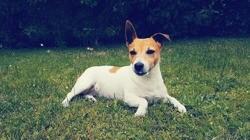 Paris, Chien jack russell terrier à adopter