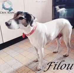 Filou, adorable jack russel de 8 ans, Chien jack russell terrier à adopter