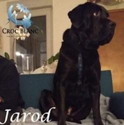 Jarod, adorable cane corso de 5 ans., Chien cane corso à adopter