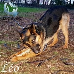 Leo, adorable berger allemand de 4 ans, Chien berger allemand à adopter