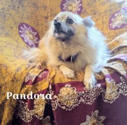 Pandora, Chiot spitz allemand à adopter