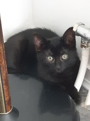 Onyx, chester et pearl, Chaton à adopter