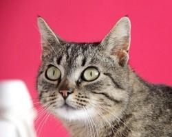 Kimm femelle tigrée de 1 an 1/2, Chat à adopter