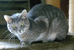 Miki chat tigré gris de 2 ans 1/2, Chat à adopter