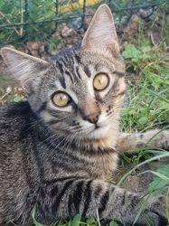 Sashimi, Chat européen à adopter