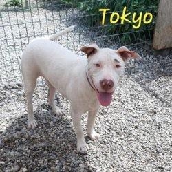 Tokyo, Chiot dogue argentin à adopter