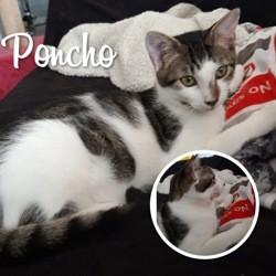 Poncho, Chaton à adopter