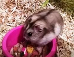 Shy hamster russe mâle, Animal à adopter