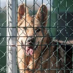 Lobo, Chien à adopter
