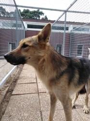 Dastan, Chien berger allemand, chien-loup tchèque à adopter