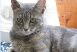 Betty, Chat européen à adopter