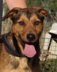Over, Chien beauceron à adopter