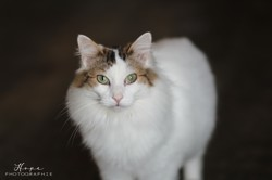 Opale, Chat à adopter